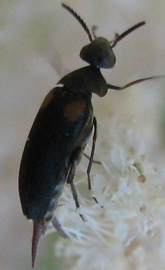 Species Mordellochroa scapularis? - Mordellochroa scapularis