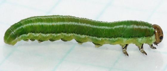sawfly larva - Gilpinia hercyniae