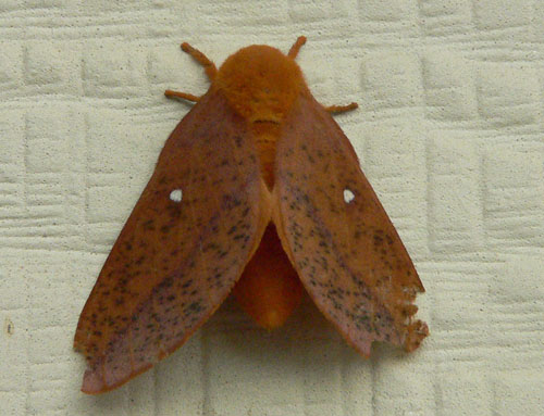 Moth on siding - Anisota stigma - female
