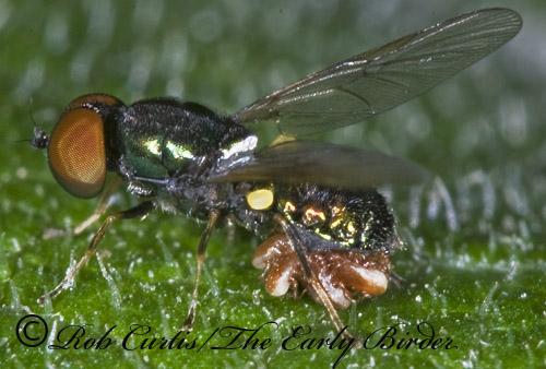 6010446 Sargus - Microchrysa polita - male