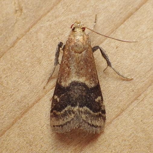 Pyralidae: Eulogia ochrifrontella - Eulogia ochrifrontella