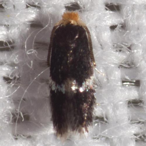 Unidentified Ectodoemia Moth - Hodges #058.97 - Ectoedemia