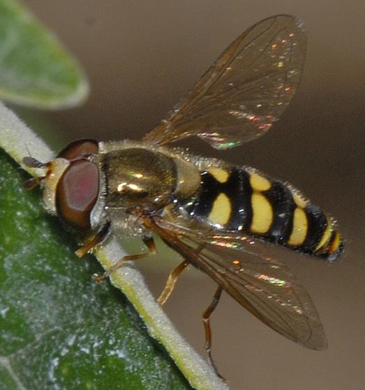 Eupeodes ?? - Eupeodes fumipennis - male