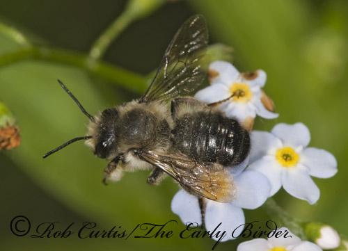 8015246 - Megachile gemula - male