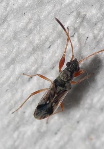 Might this be Pseudopachybrachius vinctus - Pseudopachybrachius vinctus