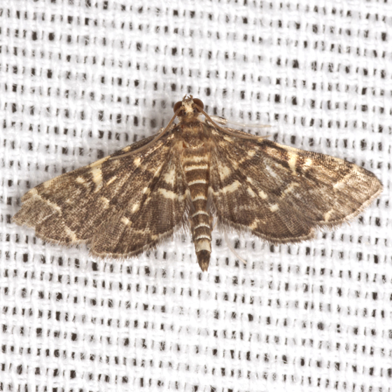 Yellow-spotted Webworm Moth - Hodges #5176 - Anageshna primordialis