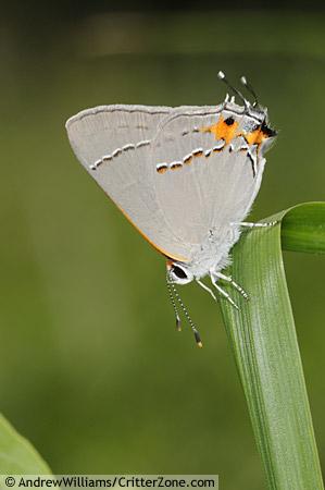 gray hairstreak butterfly - Strymon melinus - male