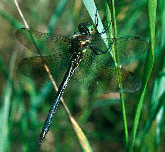 Hine's Emerald - Somatochlora hineana