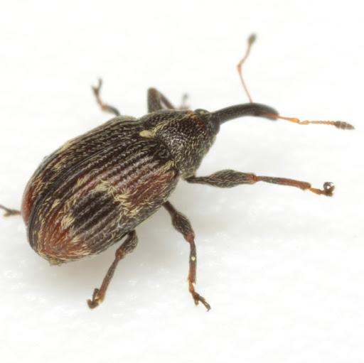 Anthonomus signatus Say - Anthonomus signatus
