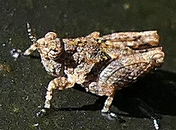 pygmy grasshopper nymph - Paratettix mexicanus