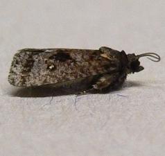 small moth - Cryptaspasma bipenicilla
