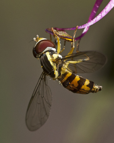 Yellow Jacket or Fly?? - Toxomerus geminatus