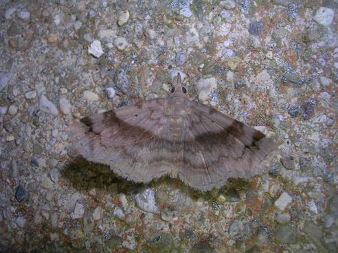 Moth ID Please - Spargaloma sexpunctata