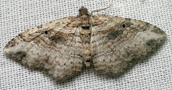 carpet - Costaconvexa centrostrigaria