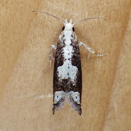 Tortricidae: Suleima cinerodorsana? - Suleima cinerodorsana