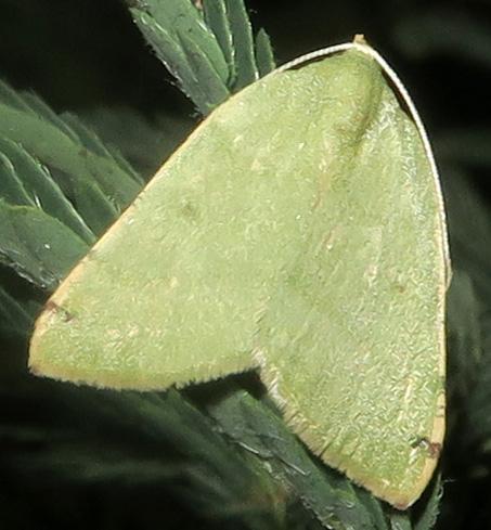 Bicolored Chloraspilates - Chloraspilates bicoloraria