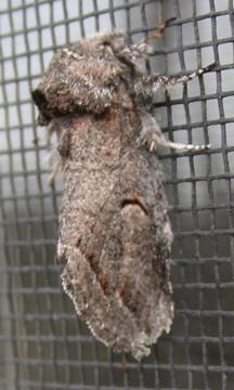 Moth #08-61 - Heterocampa averna