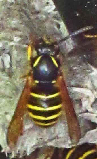 Yellowjacket in Alaska - Vespinae - Dolichovespula norvegicoides - female