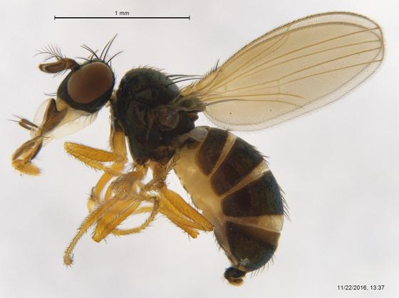 Ephydridae ? - Camilla