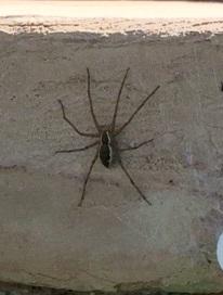 Spider in Arizona pool - Tinus peregrinus