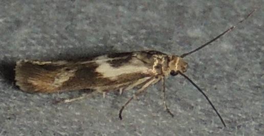UNK Micro Moth - Scythris