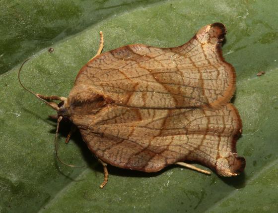 Tortricidae, adult - Archips purpurana