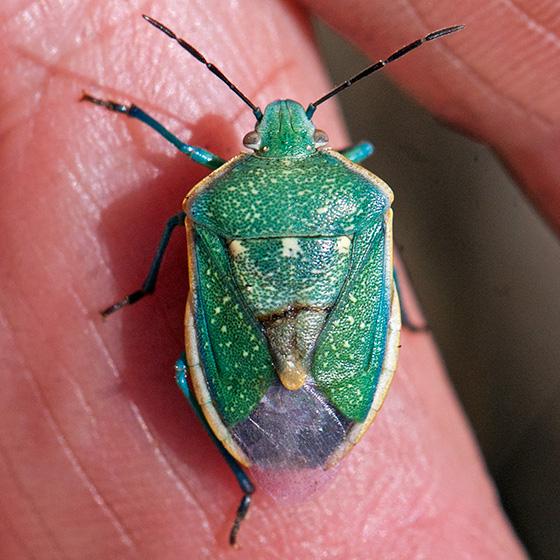 Beautiful green stinkbug - Chlorochroa sayi