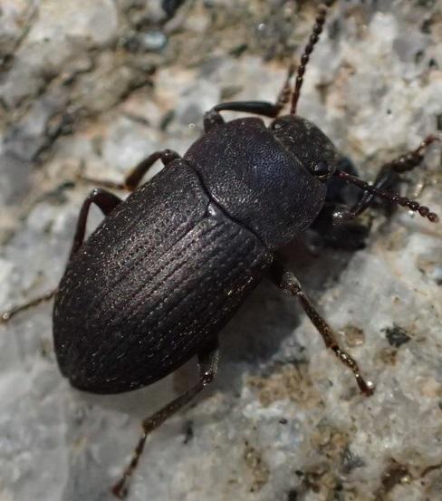 Darkling Beetle - Blapstinus
