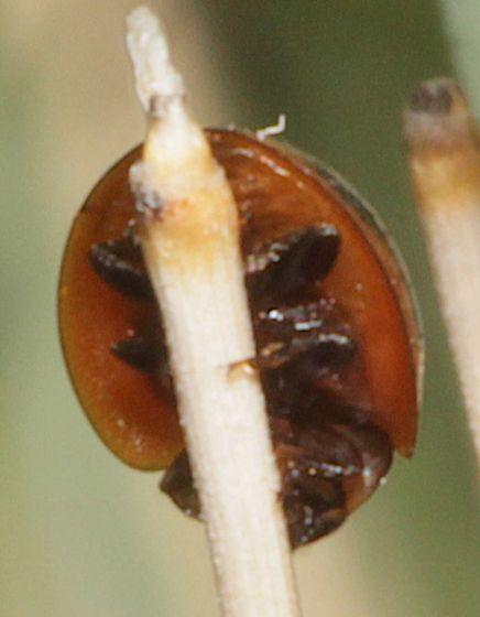 Dark Lady Beetle with 2 orange spots and rim around edges - Exochomus subrotundus