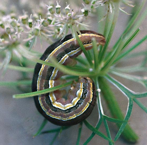 Aster Cutworm - Trichordestra lilacina