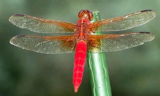 Libellula croceipennis