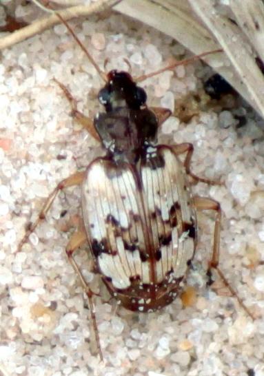 Sand Beetle - Tetragonoderus latipennis