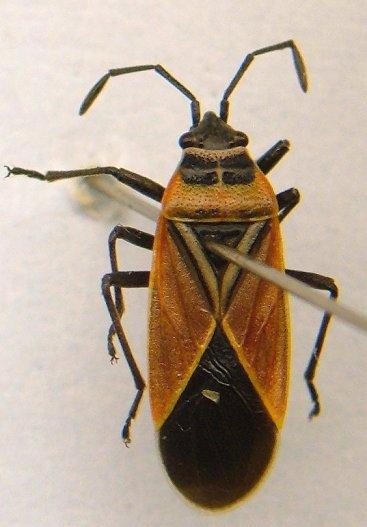 Lygaeid - Neacoryphus bicrucis