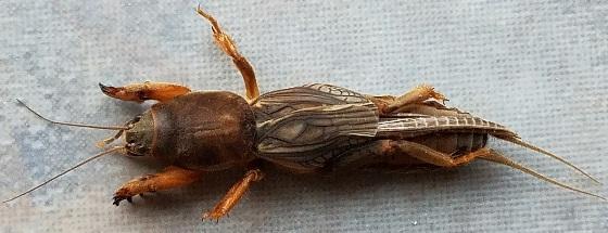 Neocurtilla hexadactyla (Northern Mole Cricket) - Neocurtilla hexadactyla