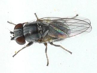 Fly - Leucopis