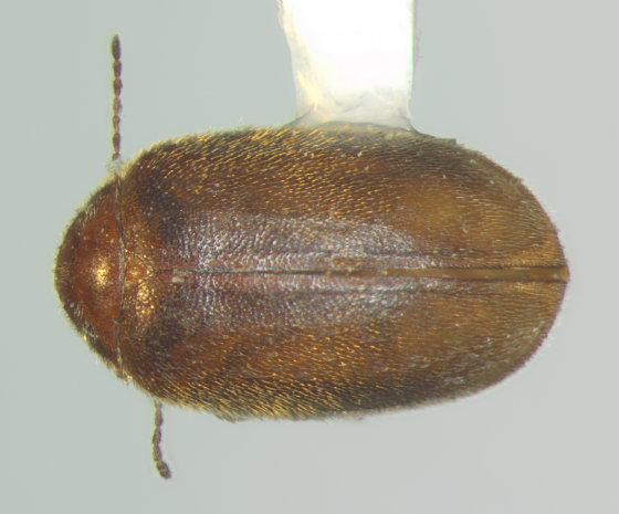 Scirtidae, dorsal - Contacyphon