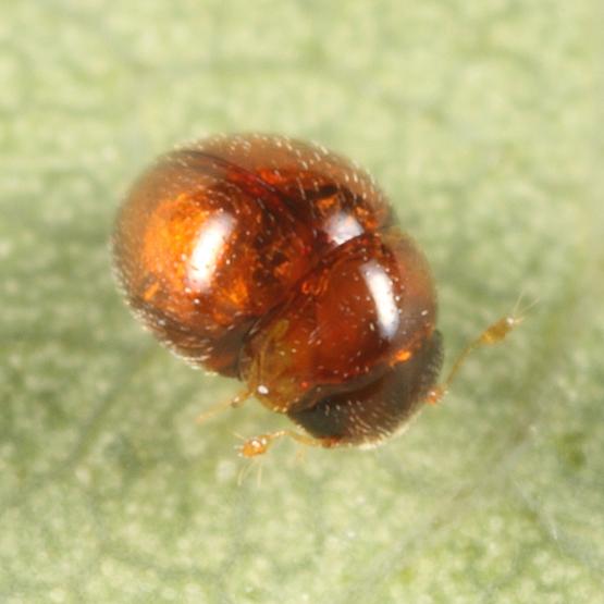 Minute Beetle - Clambus howdeni