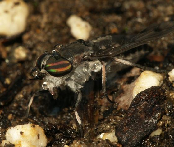 horse flies are rare at my house - Poeciloderas quadripunctatus - female
