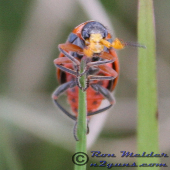 Soft-winged Flower Beetle - Collops - male