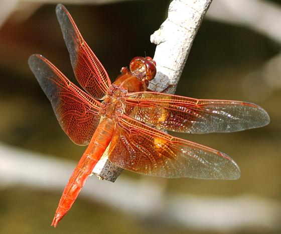 Libellula saturata - male