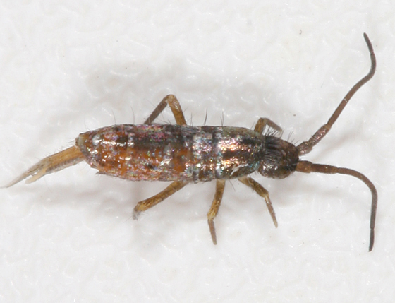 Springtail - Tomocerus vulgaris