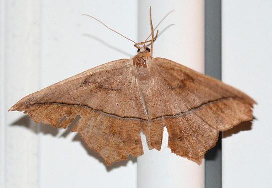 Large Maple Spanworm - Prochoerodes lineola