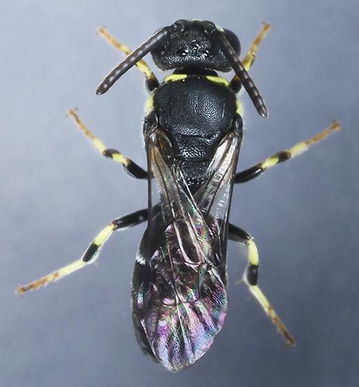 Bee - Hylaeus modestus - male