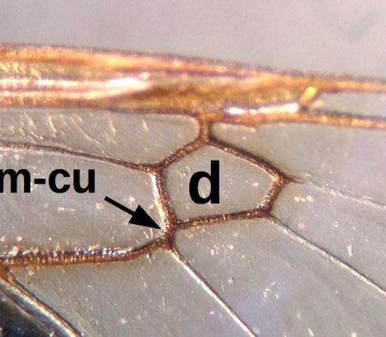Stratiomyidae Psellidotus sp.  - Odontomyia