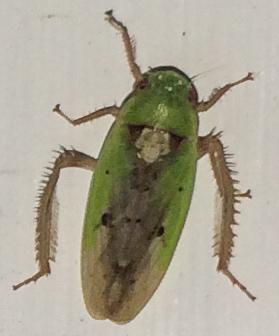 Green Spiny Legged Creature - Ponana pectoralis