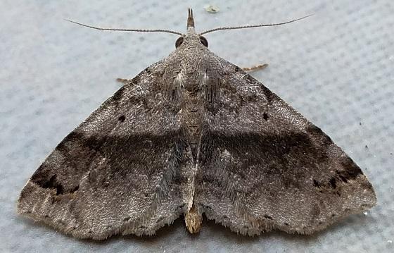 Spargaloma sexpunctata (Six-Spotted Gray) - Spargaloma sexpunctata