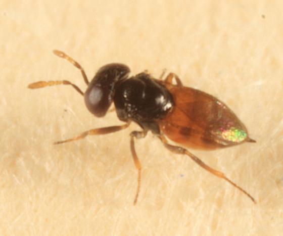 tiny wasp - Aphelinus - female