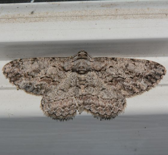 Common Gray for Nebraska in September - Anavitrinella pampinaria - male