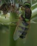 bee? - Odontomyia cincta