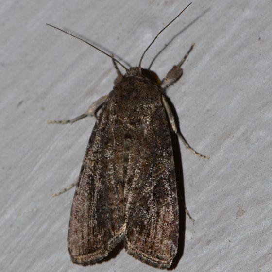 Plain, Brown Spodoptera sp. - Spodoptera frugiperda